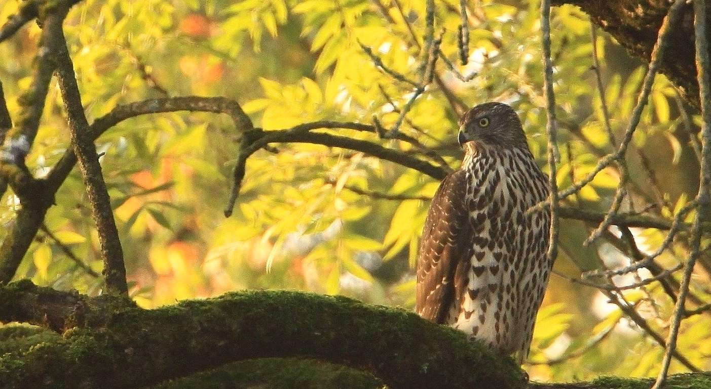 13. Teachings of the Goshawk, Geschichten aus der Naturschule